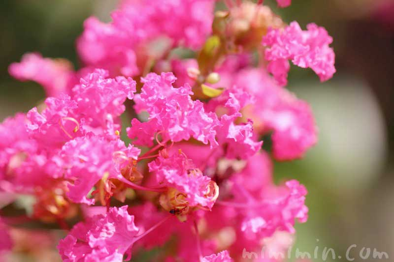 ピンク色のサルスベリの花の写真・花言葉