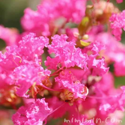 サルスベリ(ピンク色)の写真・花言葉の画像