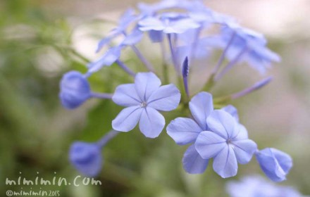 青いルリマツリ