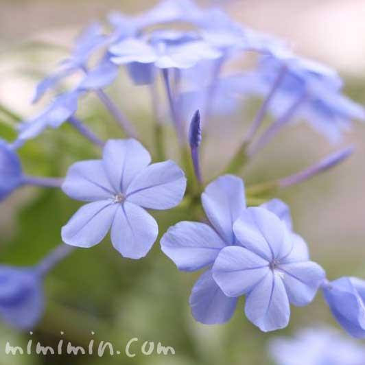 青いルリマツリ(プルンバゴ)の花の写真