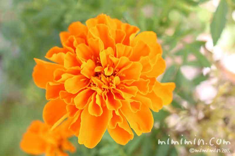 オレンジ色のマリーゴールド(花言葉・名前の由来)の写真