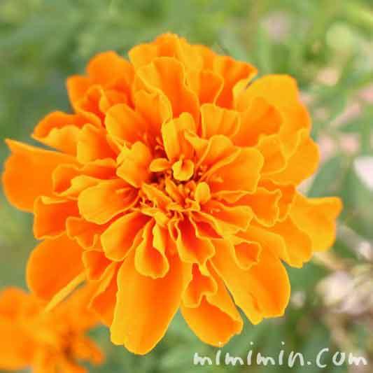 オレンジ色のマリーゴールドの花(花言葉・名前の由来)の写真