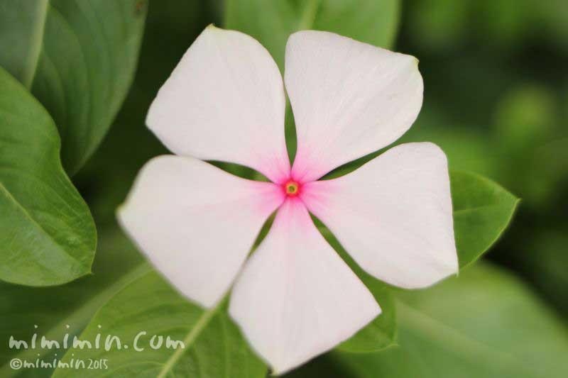 ニチニチソウの花(効能・花言葉)の画像