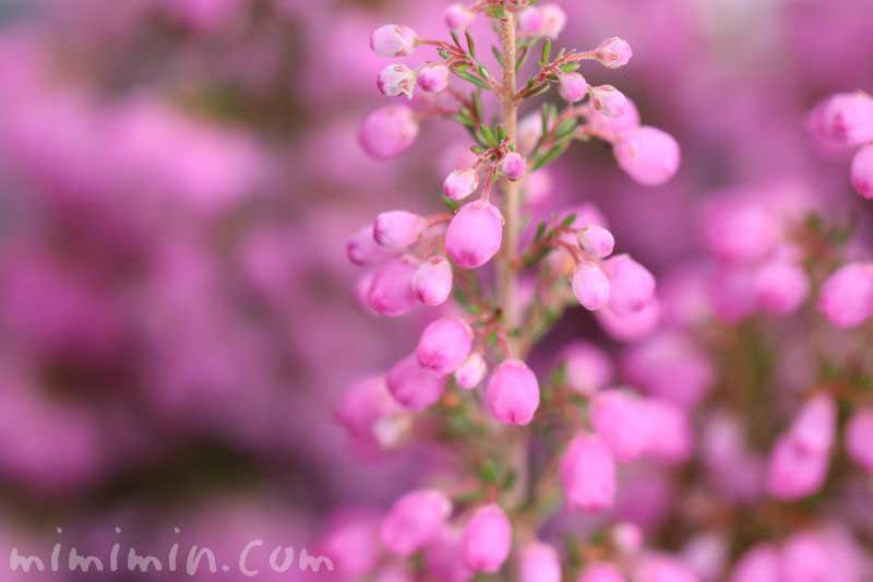 ピンク色のエリカ