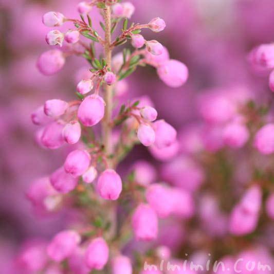 エリカ・ピンクの画像