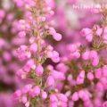 エリカの花の写真