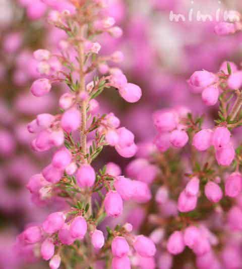 エリカの花言葉(色別)・ピンク色のエリカの花の写真