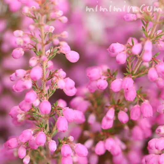 エリカの花・ピンクの写真
