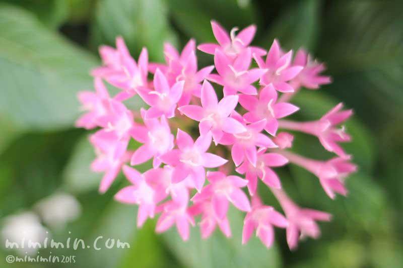 ピンク色のペンタスの花の写真&花言葉の画像