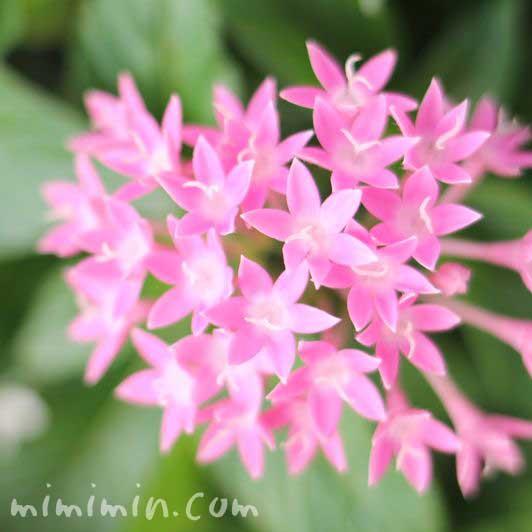 ピンク色のペンタスの写真&花言葉の画像