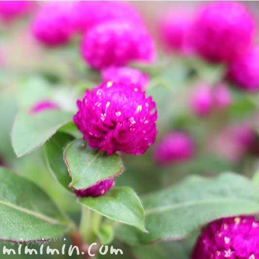 赤紫のセンニチコウ(千日紅)の写真