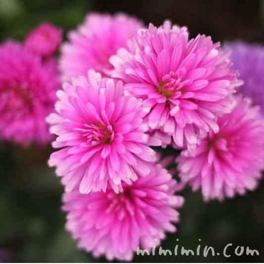 ピンク色のクジャクアスターの花の写真