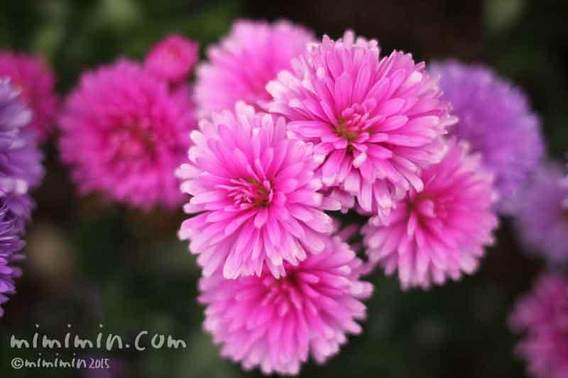 ピンク色のクジャクアスターの写真