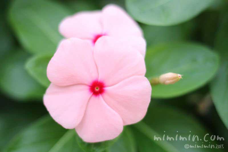 ピンク色の日々草・ニチニチソウの写真