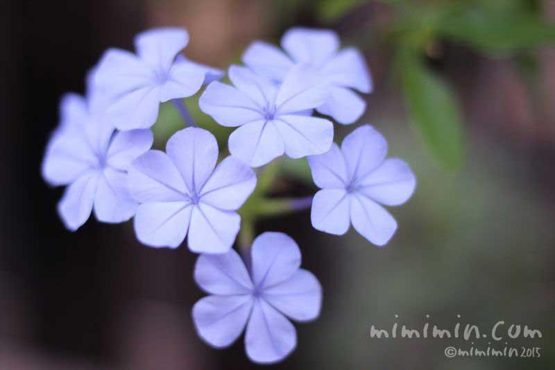 青いルリマツリの写真