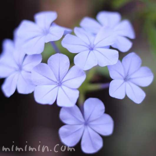 青いルリマツリ(瑠璃茉莉)の写真