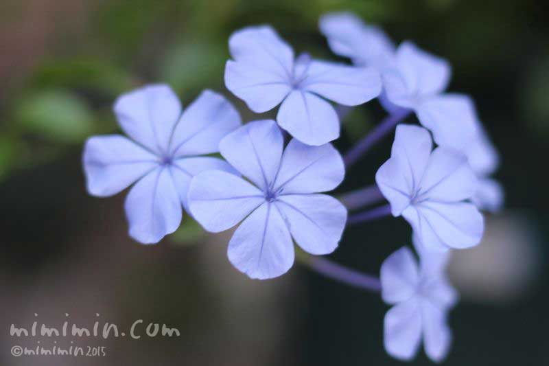 青いルリマツリの花の写真