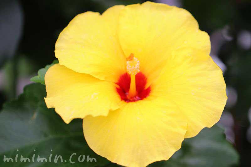 黄色のハイビスカスの写真