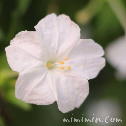 オシロイバナの花の写真