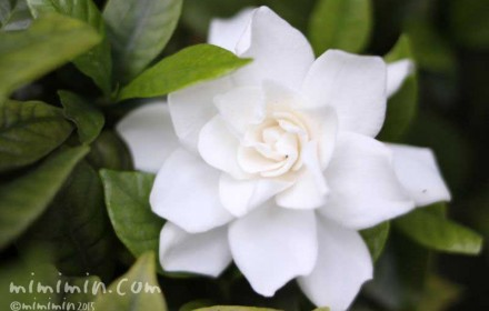 クチナシの花の写真