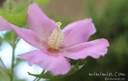 フヨウ(ピンク)の花の写真