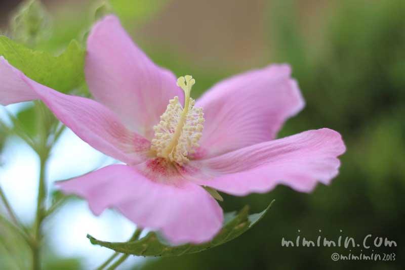 ピンクのフヨウの花の写真