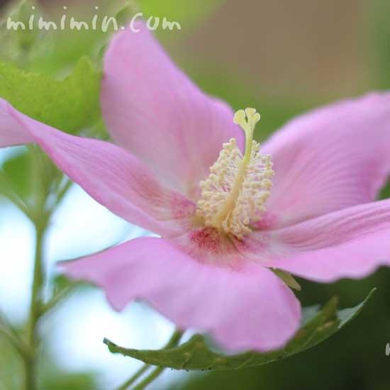 ピンク色の芙蓉の花のアップの画像