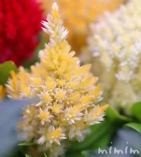 ケイトウの花言葉・名前の由来・花の写真