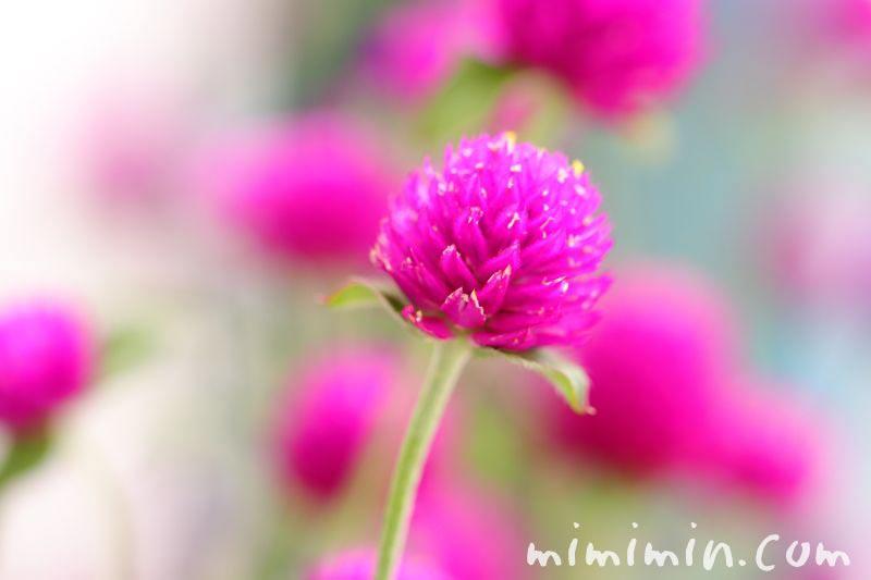 千日紅の花の写真 赤紫