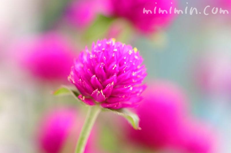 センニチコウの花の写真 赤紫