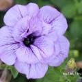 紫の八重咲きペチュニアの写真