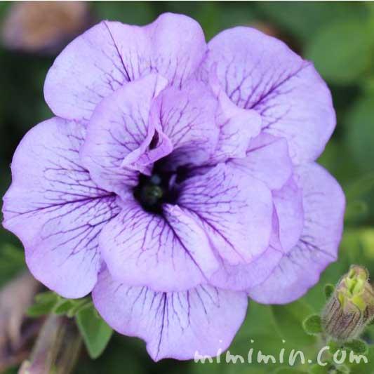 紫の八重咲きペチュニアの花の写真