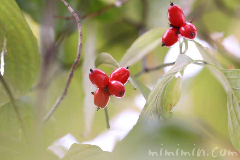 赤い実・ハナミズキの写真