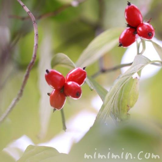 赤い実 花水木の写真