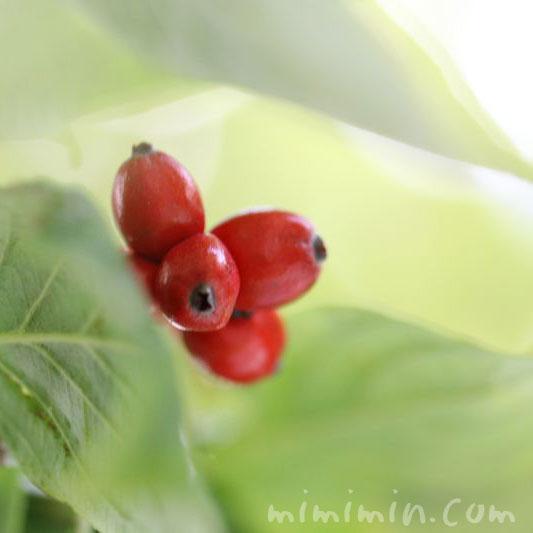 花水木の赤い実のg像