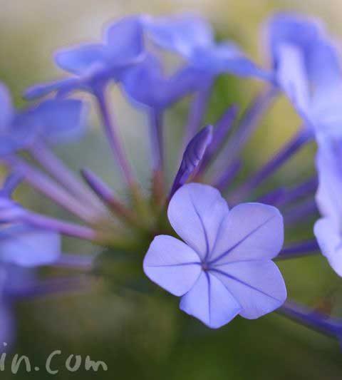 瑠璃茉莉(ルリマツリ)の花言葉・花の写真