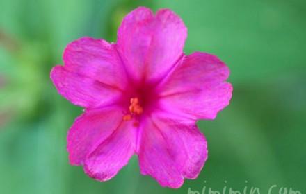 ピンクのオシロイバナの画像