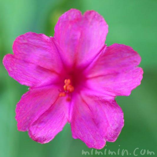 オシロイバナ・ピンクの画像