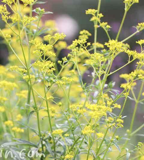 オミナエシの花言葉・名前の由来・オミナエシ(女郎花)の写真