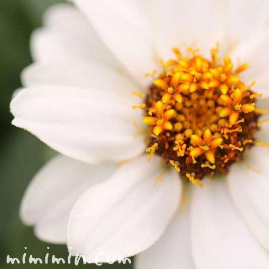 ジニア 白の写真