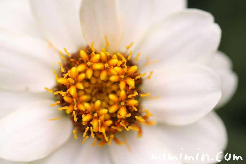 百日草 白の写真