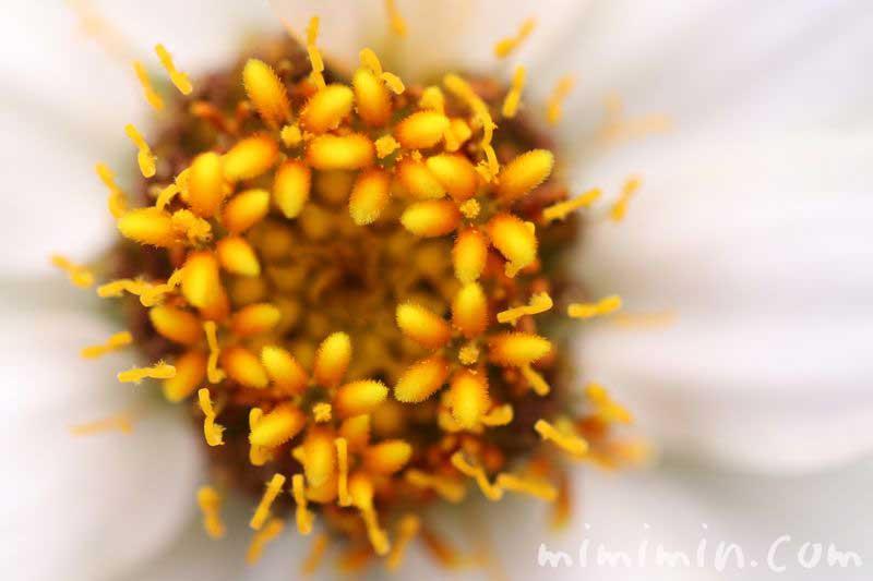 ジニアの花の写真