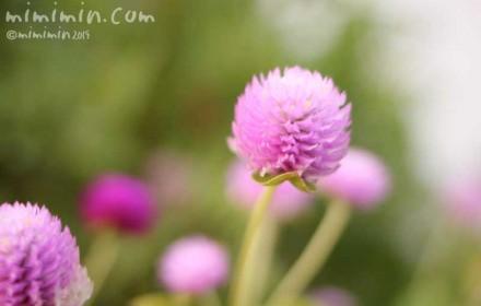 ピンク色のセンニチコウ・千日紅の写真