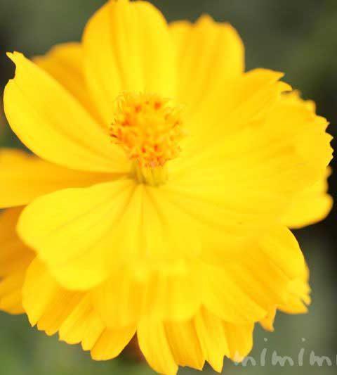 キバナコスモス(花言葉・名前の由来・花の写真)
