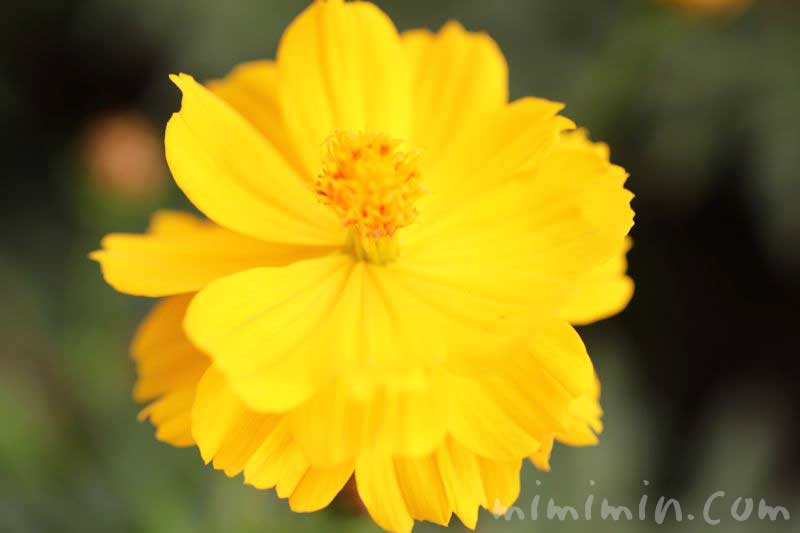キバナコスモスの花言葉・名前の由来・花の写真の画像