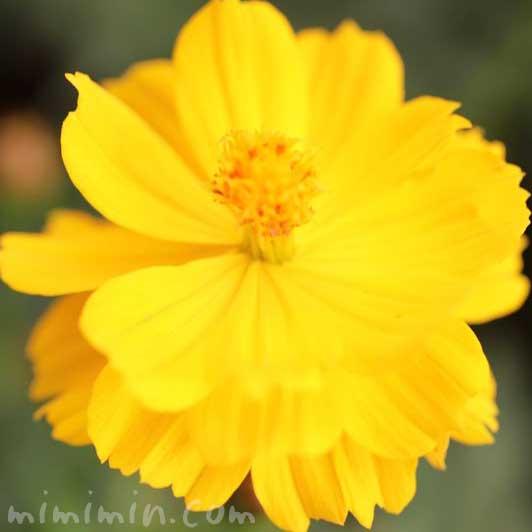 キバナコスモスの花言葉と名前の由来と花の写真