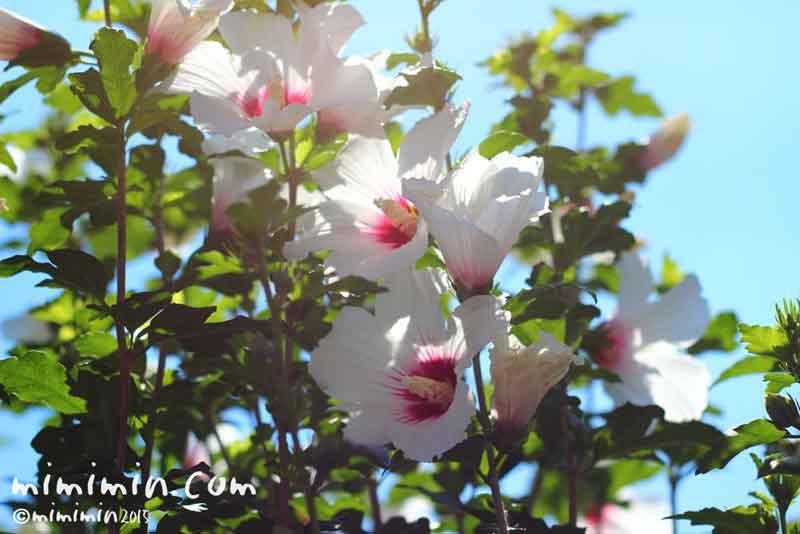 ムクゲの花言葉・名前の由来の画写真