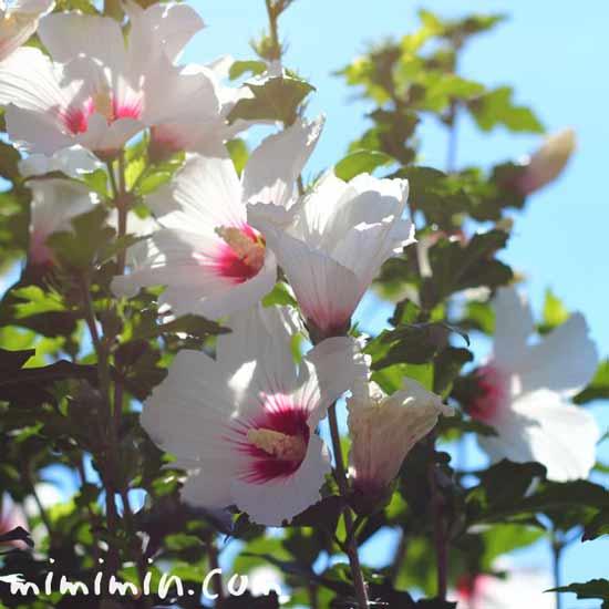 ムクゲの花言葉・名前の由来・花の写真の画像