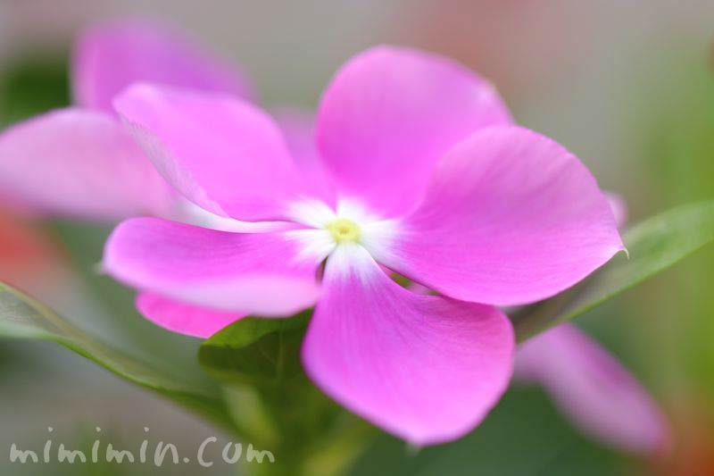 日々草の花