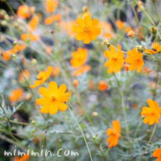 キバナコスモスの花の写真